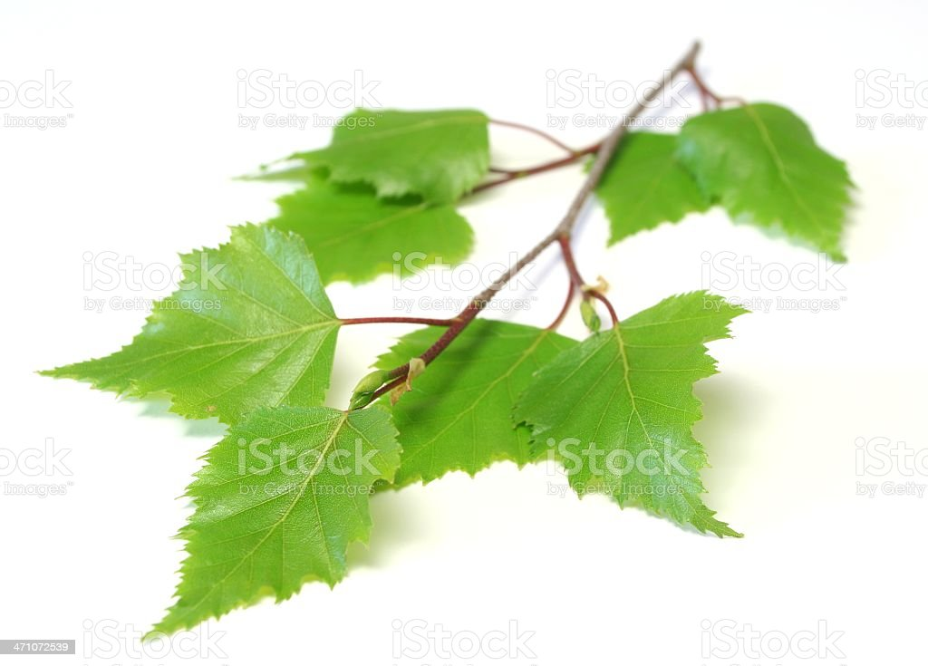 Small branch with birch leaves on a white background stock photo