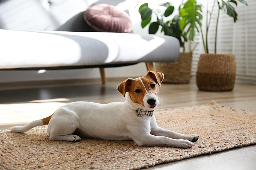 Curious Jack Russell Terrier puppy looking at the camera. Adorable doggy with folded ears at home with funny look on its face. Close up, copy space, background.