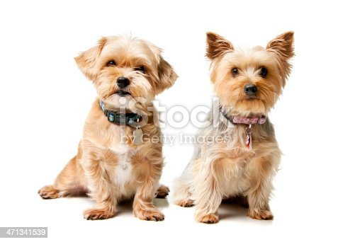Small breed dogs isolated on white.  Please see my portfolio for other dog and animal images.