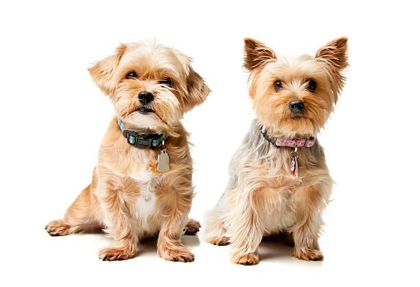 Small breed dogs picture id471341539?b=1&k=6&m=471341539&s=612x612&w=0&h=ivshykzuxnoiuvk1aeygv08vu5rshjo1sdsbjpk 7su=