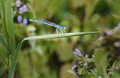 Close-up of beautiful small turquoise colored dragonfly sitting on green grass leaf. Male of Common blue damselfly in natural habitat. Selective focus. Summer greeting card background with copy space.