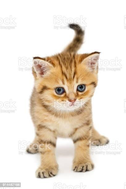 Small british kitten picture id914482166?b=1&k=6&m=914482166&s=612x612&h=s5dncce v0miiujxbufr txteuymddksshrjqez9f48=