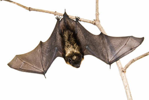 closeup of small brown bat sitting on branch over white