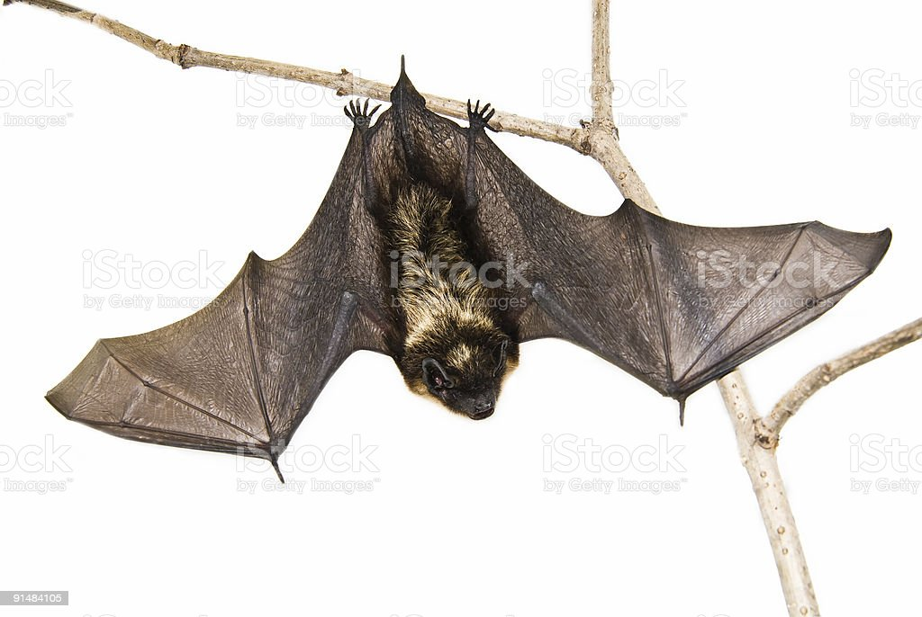A small brown bat hanging upside down on a branch stock photo