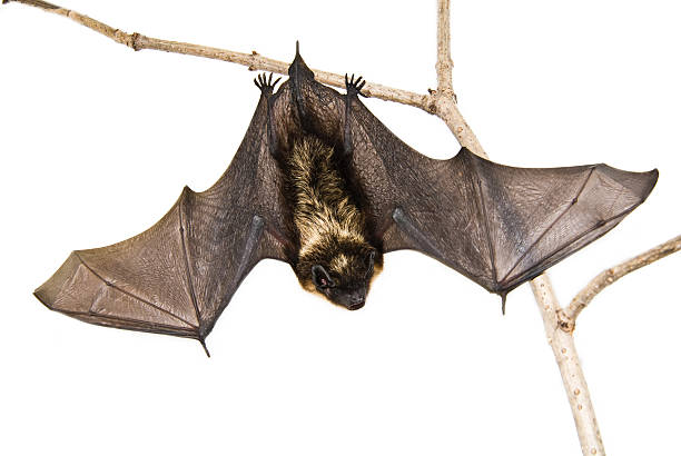 a small brown bat hanging upside down on a branch - mammal stock photos and pictures