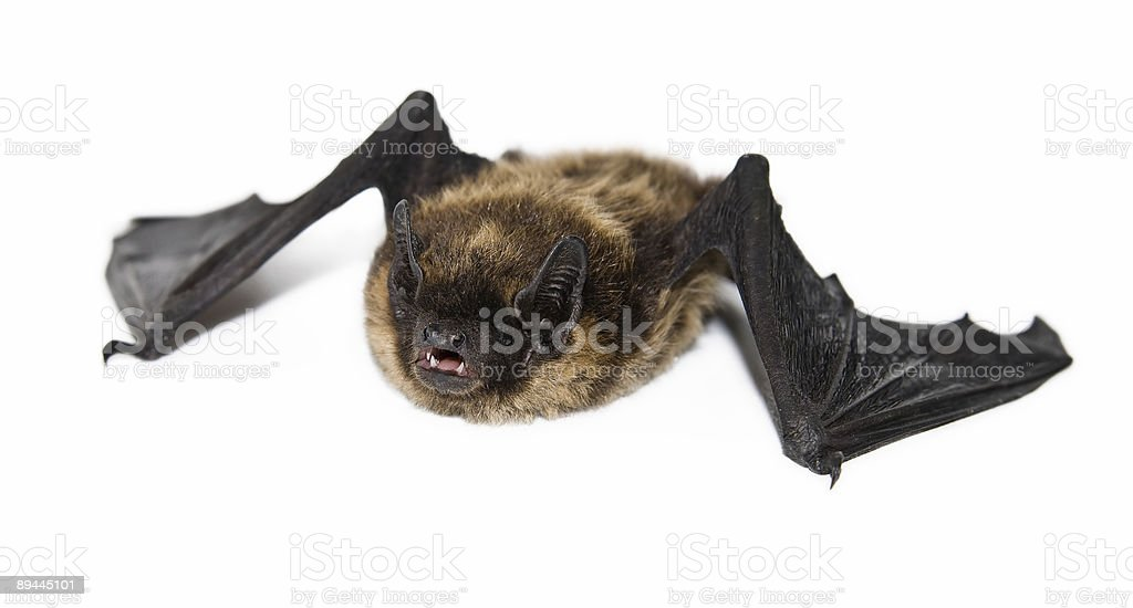 small brown bat (isolated) royalty-free stock photo