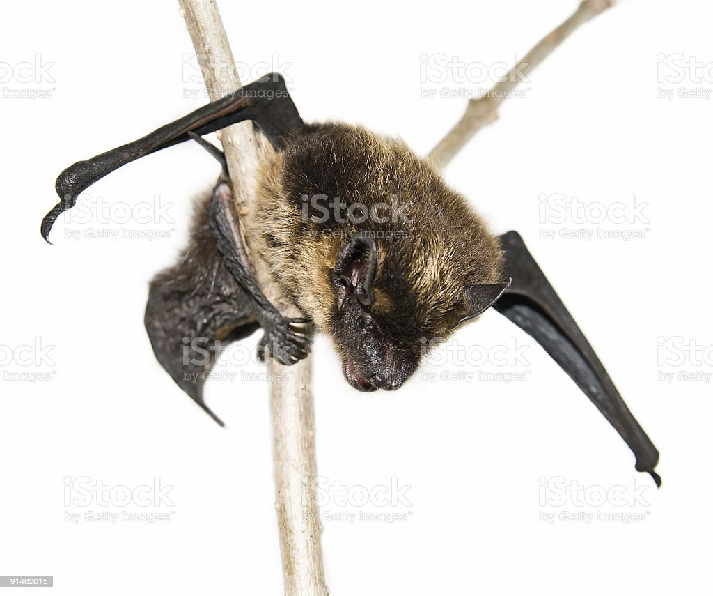 small brown bat sitting on branch (isolated) royalty-free stock photo