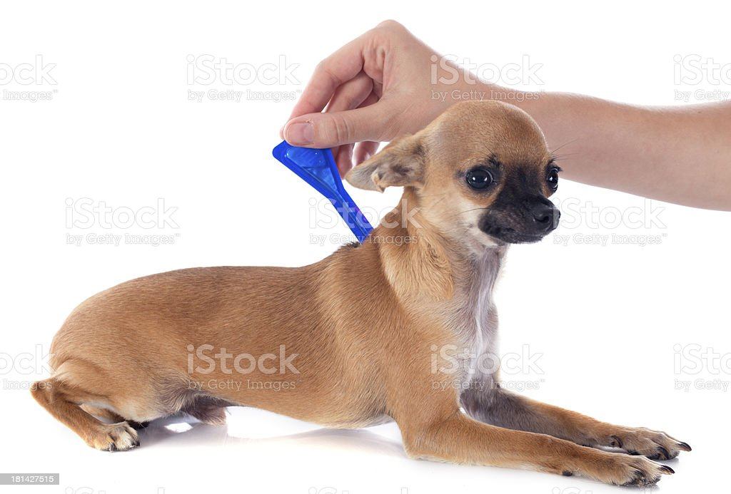 Small brown dog receiving tick and flea treatment stock photo