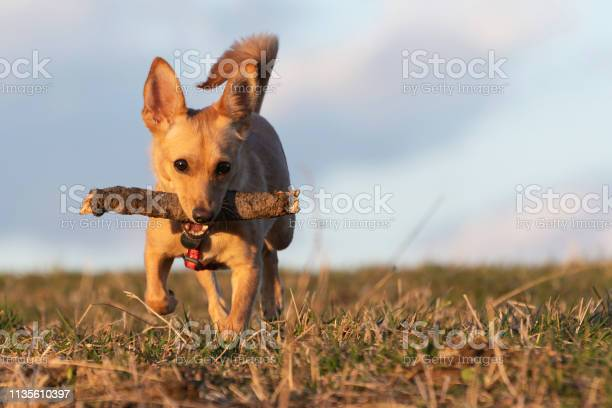 Small brown dog running with wooden stick in its mouth on a dry picture id1135610397?b=1&k=6&m=1135610397&s=612x612&h=sovwhbofuwwxphvolpktk5jlj2x80tewuj 8o dario=