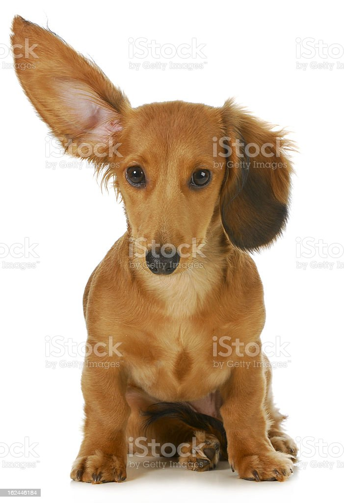 Small brown dog shown to be listening with ear lifted stock photo