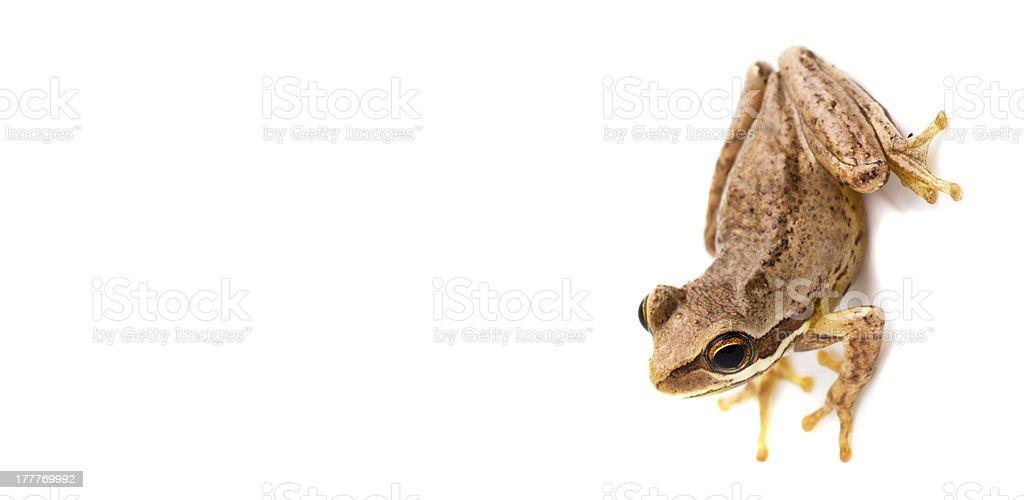 Kleine Braune Frosch, isoliert auf weiss – Foto