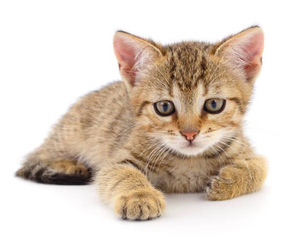 Small brown kitten picture id1221372610?b=1&k=6&m=1221372610&s=612x612&w=0&h=bfeuwmgaxp75cgiqugbj drbe2njwjcn 6xtnljnycc=