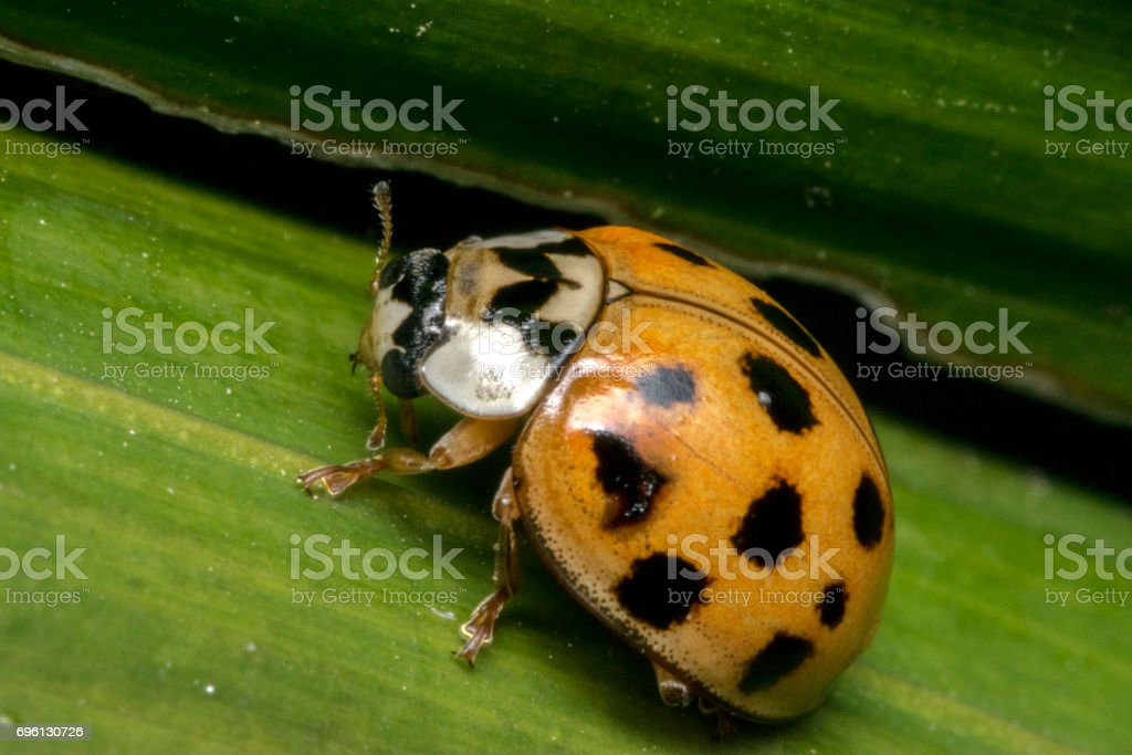 Small Brown Ladybug With Black Dots On A Plant Leaves Stock Photo