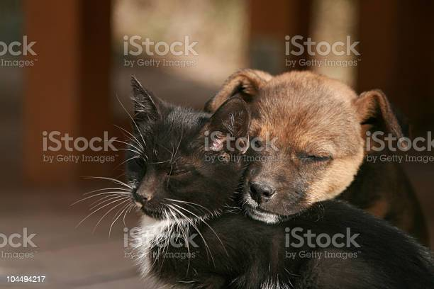 Small brown puppy and a black and white kitten cuddling picture id104494217?b=1&k=6&m=104494217&s=612x612&h=lmiqj 3gc4yqkhs9mt9h98b  9gvisa14ggplnle2jy=
