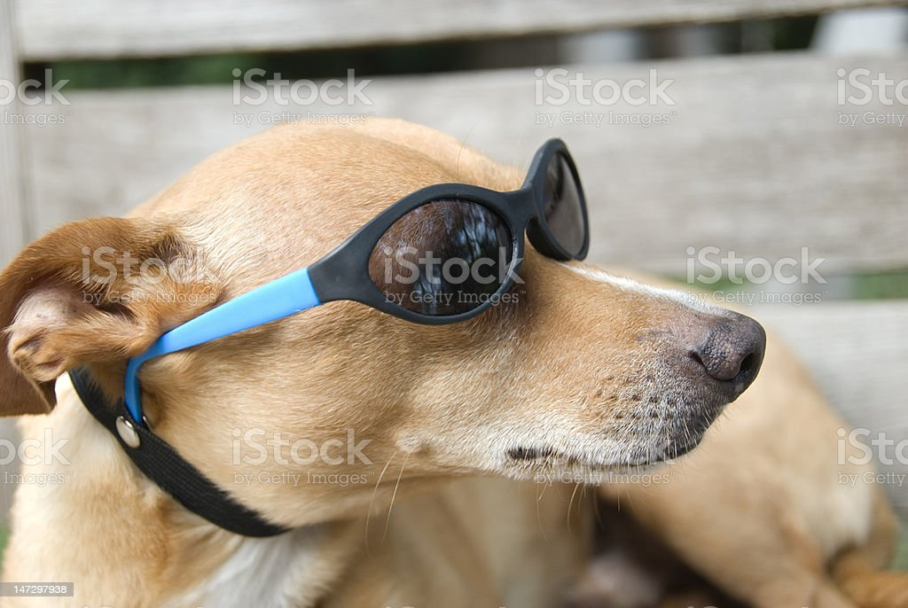 Small brown Rat Terrierdog with sunglasses stock photo