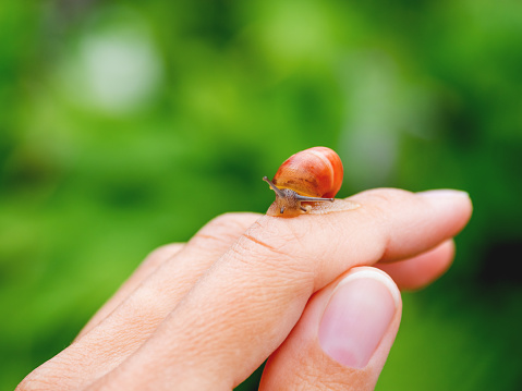 Small brown  snail crawls on a woman's finger. Natural background with small mollusk.