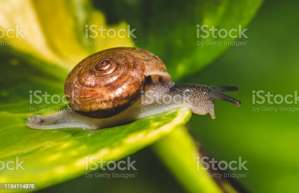 Small brown snail on green leaf picture id1154114976?b=1&k=6&m=1154114976&s=612x612&h=oh r pc4dn9whubyzzijh7d8l220 yexz7hgiruvwds=