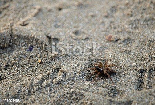 Small brown spider walking on a sandy european beach