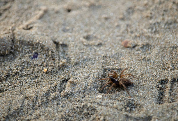 Small brown spider walking on a sandy european beach Small brown spider walking on a sandy european beach arachnid stock pictures, royalty-free photos & images