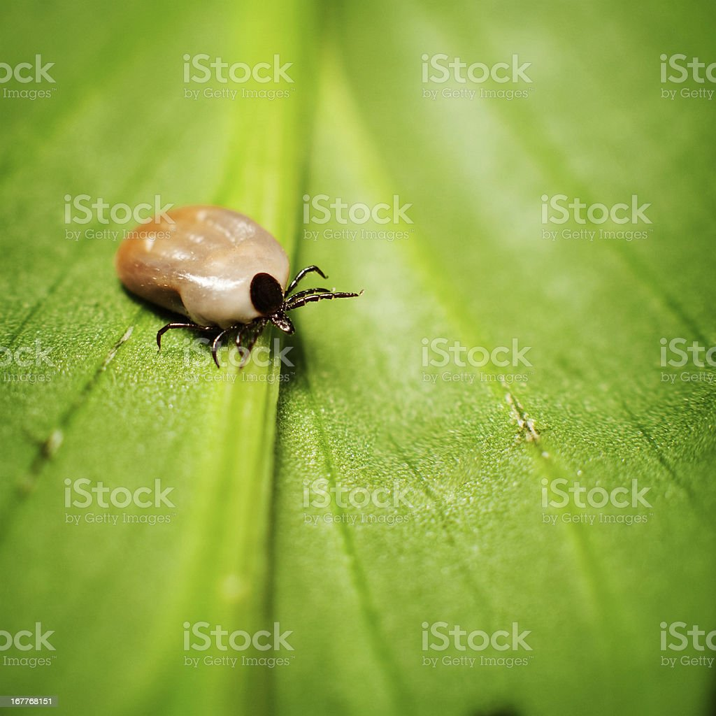 A small brown tick insect sat on a lead stock photo