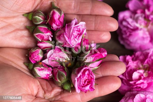 Small buds of tea roses in female hands, flowers and tree background. Growing flowers for making tea at home.