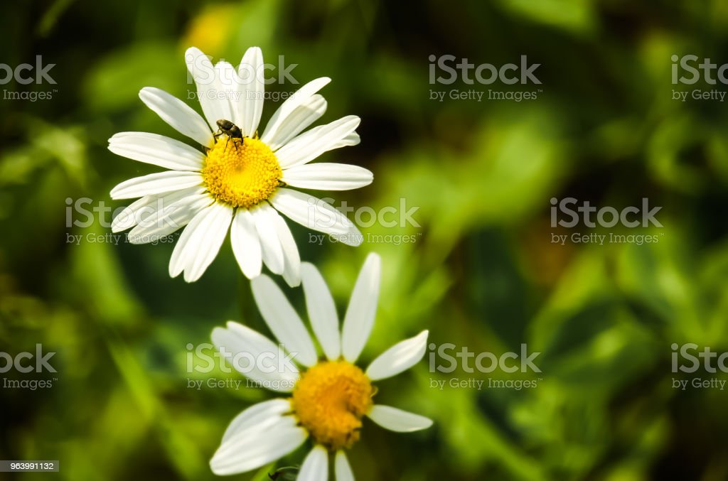 Small Bug on a White Daisy - Royalty-free Agricultural Field Stock Photo