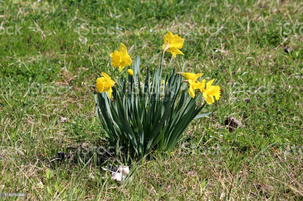 Small Bush Made Of Narcissus Or Daffodil Perennial Herbaceous