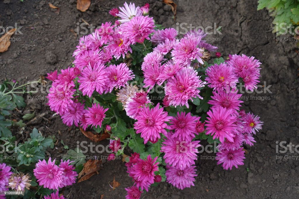 Small bush of chrysanthemum with big pink flowers stock photo more small bush of chrysanthemum with big pink flowers royalty free stock photo mightylinksfo
