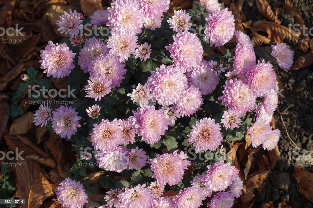 Small bush of chrysanthemum with lots of light pink flowers stock small bush of chrysanthemum with lots of light pink flowers royalty free stock photo mightylinksfo