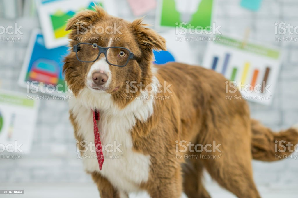 A purebred border collie is dressed up in a costume of glasses and...