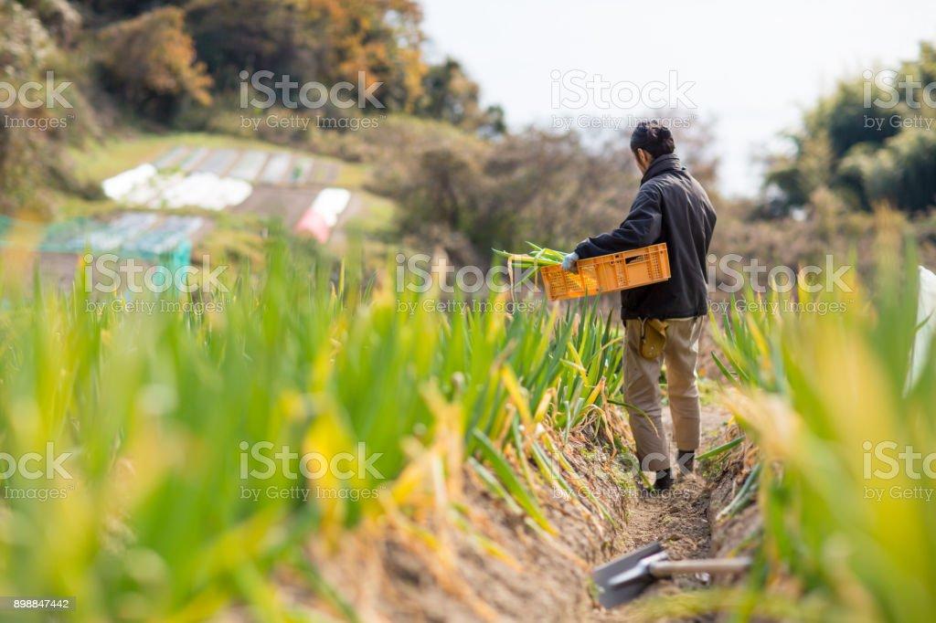 A small business farmer harvesting vegetables on his organic farm stock photo