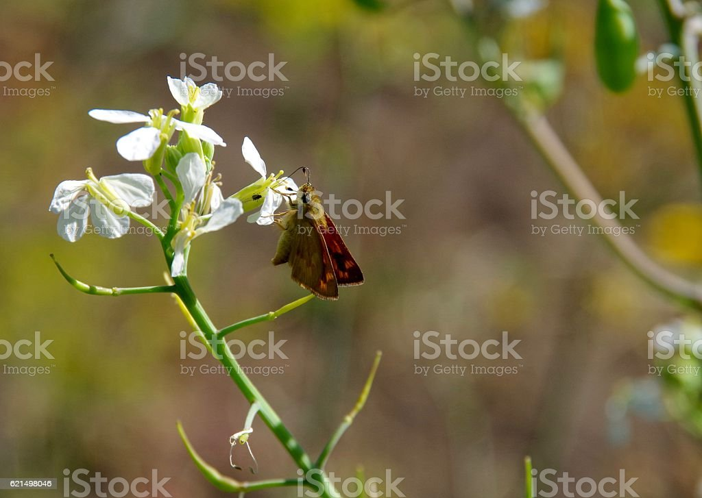 Small butterfly(Brown Skipper) on white flower photo libre de droits