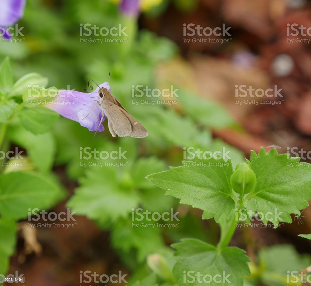 Small Butterfly Sucking On A Violet Bell Flower Stock Photo More