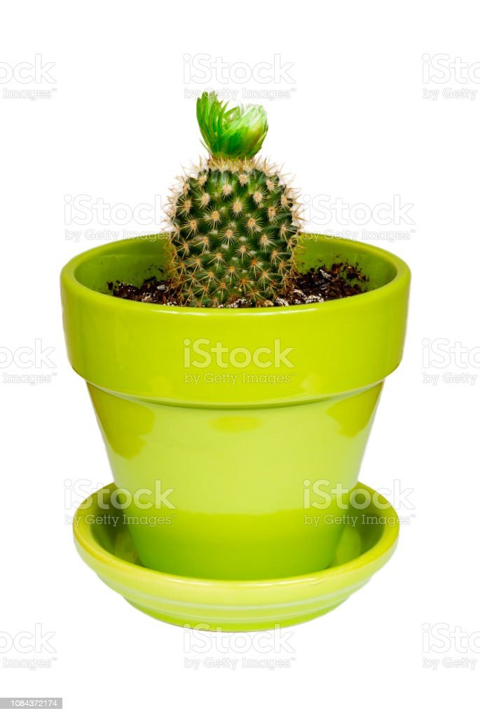 Small cactus in a green pot stock photo