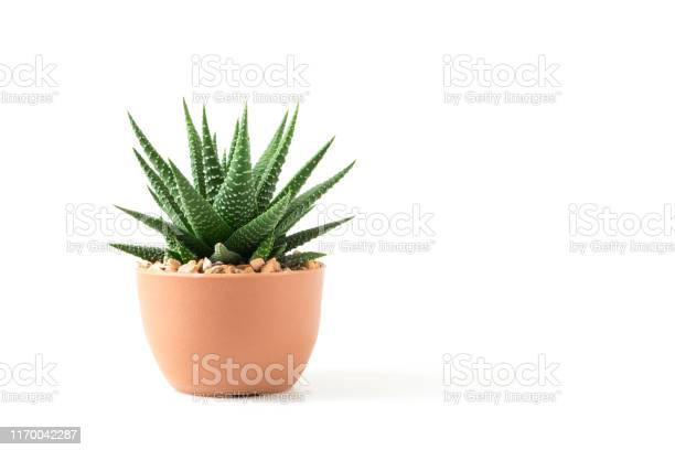 Photo of small cactus in pot isolated on white background