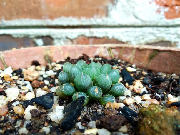pequeña planta de cactus con hojas redondas - geometric background fotografías e imágenes de stock