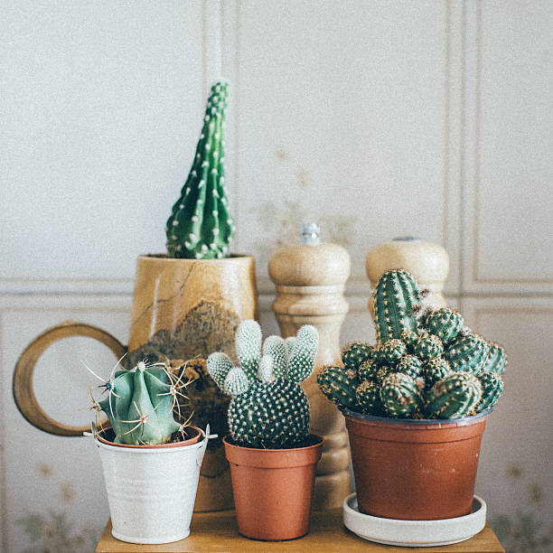 Small Cactus Plants in a Pot stock photo