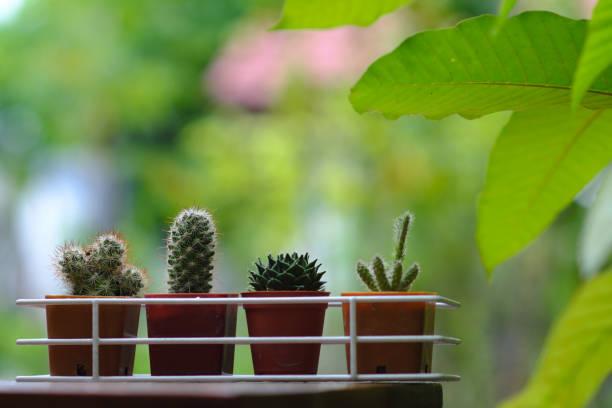 kleinen kaktus topfpflanze mit grünem garten hintergrund im hinterhof, textfreiraum - indoor feen gärten stock-fotos und bilder