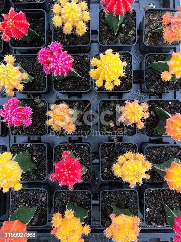 Potted small cactus with flowers seen from above in plant nursery