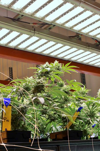 Small cannabis plants in flower beneath LED stock photo