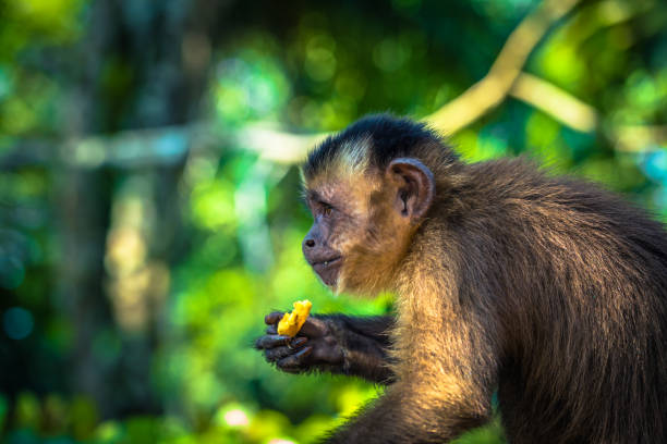 Manu Nationalpark Peru - 11. August 2017: Kleine Kapuziner-Affe im Amazonas-Regenwald von Manu Nationalpark Peru – Foto