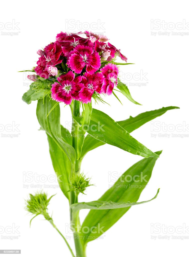small carnation flowers isolated on white foto royalty-free
