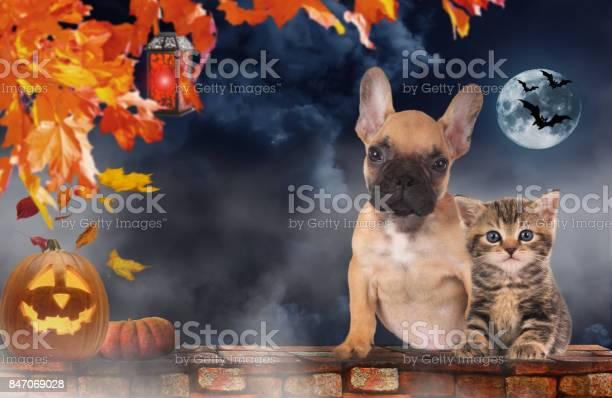 Small cat and dog sitting beside pumpkin halloween picture id847069028?b=1&k=6&m=847069028&s=612x612&h=jtnkzjrfnxpbzo8 53lywld84hgfvcxef hjakipwkc=