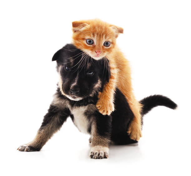 Small cat and puppy. Small cat and puppy isolated on a white background. cub stock pictures, royalty-free photos & images