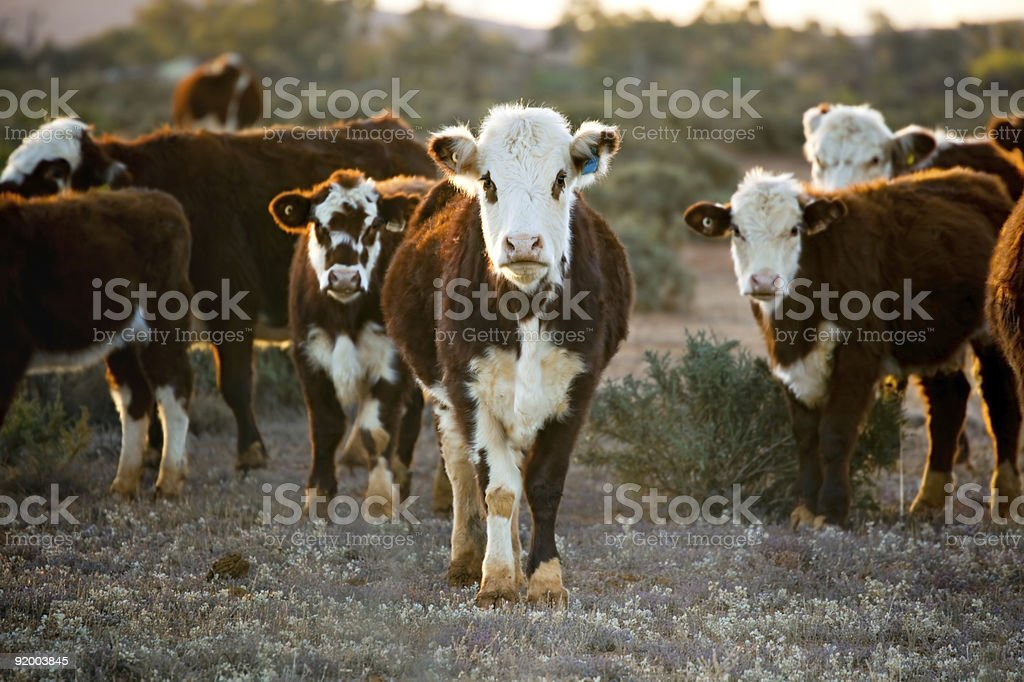 Small cattle herd of reddish brown and white Hereford cows stock photo