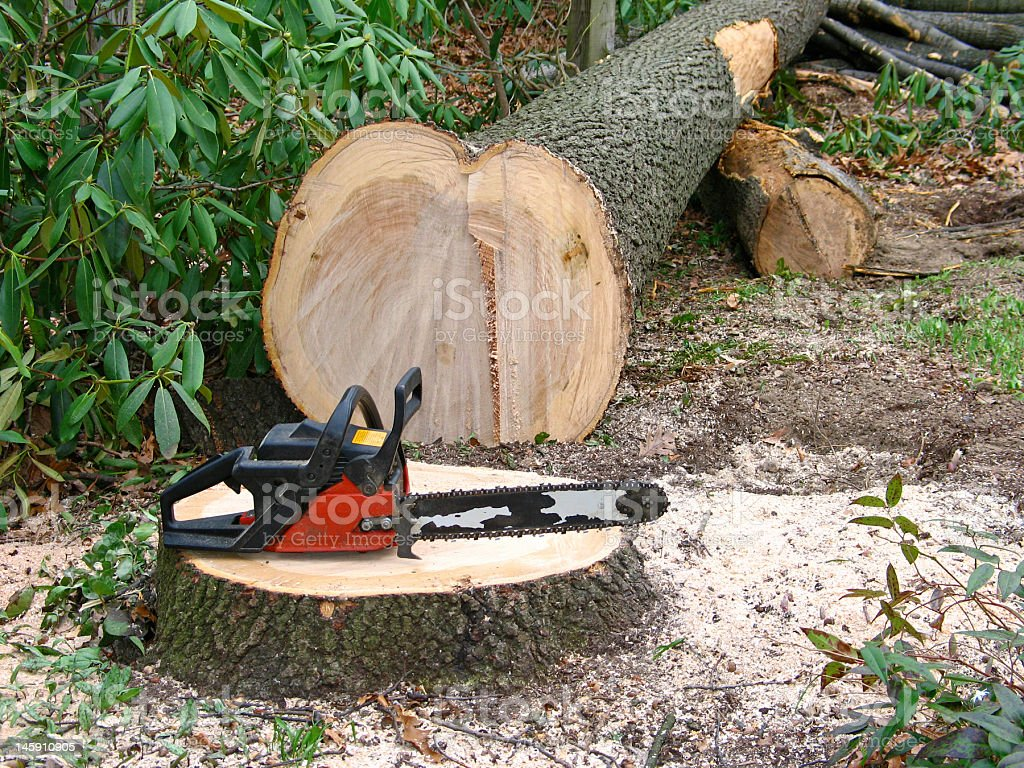 Small chainsaw cuts large oak tree royalty-free stock photo