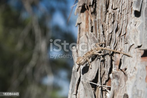 The small brown chameleon sits on a trunk of a pine tree