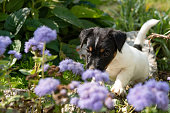 istock Small charming Jack Russell 7,5 weeks old old. young dog puppy standing outdoor in the garden in summer. 1135414985