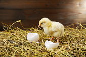 istock small chick on the hay with egg shells 1306175661