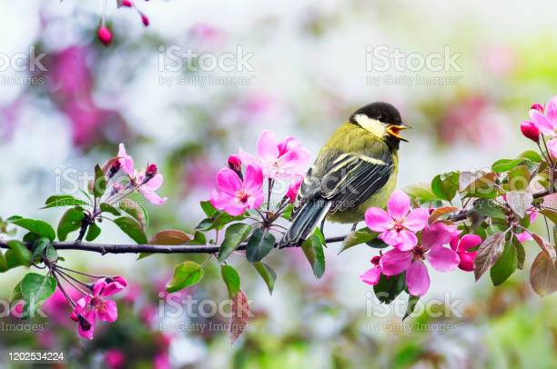 Photo of small chickadee sitting on an Apple branch with pink flowers in a may Sunny garden